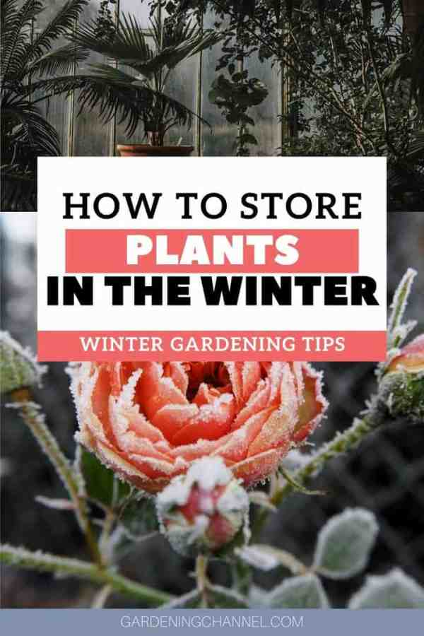 tropical plants greenhouse frozen rose with text overlay how to store plants in the winter winter gardening tips