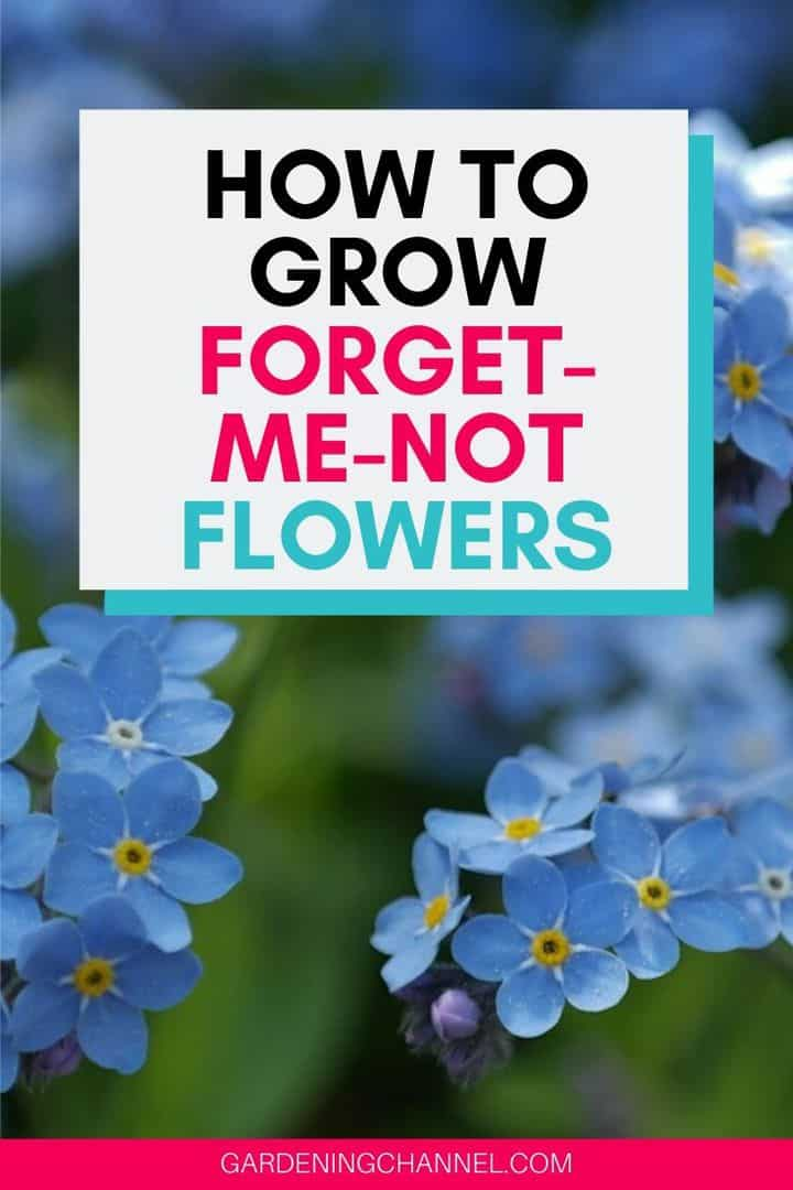 forget-me-not blooms with text overlay how to grow forget-me-not flowers