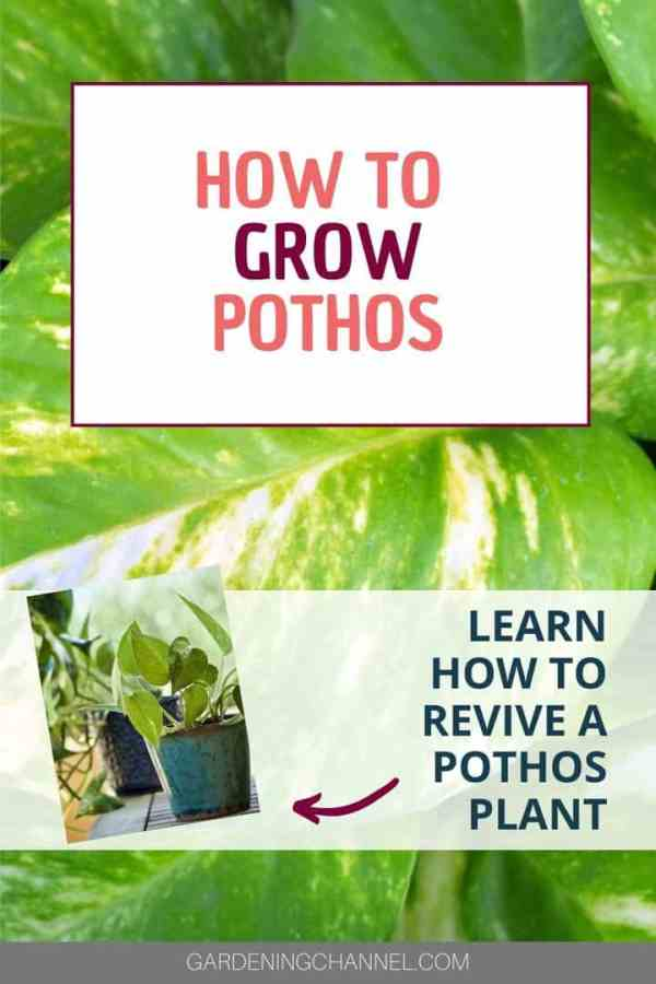 pothos leaves and containers with text overlay how to grow pothos learn how to revive a pothos plant