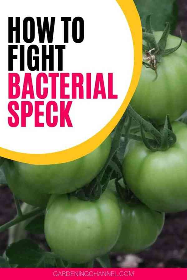 tomato plant with text overlay how to fight bacterial speck