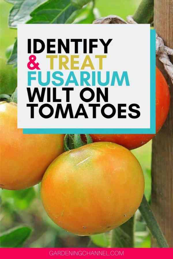 tomatoes growing with text overlay identify and treat fusarium wilt on tomatoes