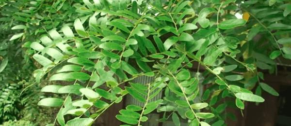 Shademaster Honeylocust