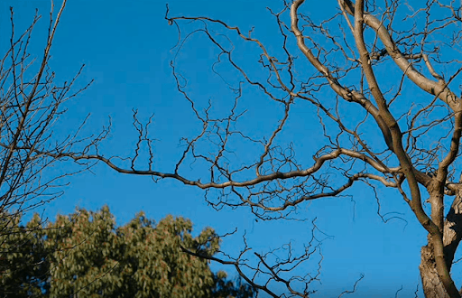 Variations of Robinia tree