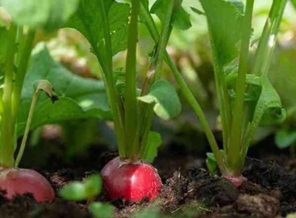 radishes growing
