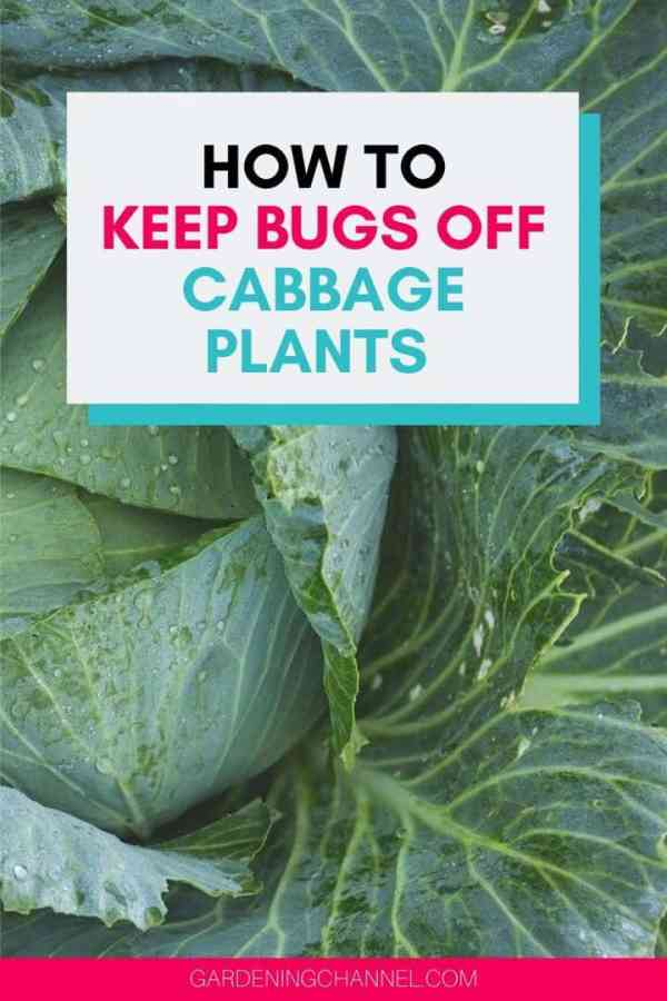 cabbage plant with holes in leaves with text overlay how to keep bugs off cabbage plants