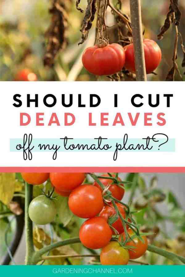 dead leaves tomato plant with text overlay should i cut dead leaves off my tomato plant
