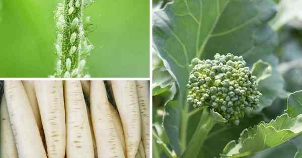 keeping bugs off broccoli plants