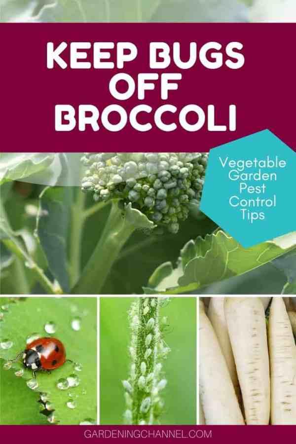 broccoli radish trap crop ladybug aphids with text overlay keep bugs off broccoli vegetable garden pest control tips