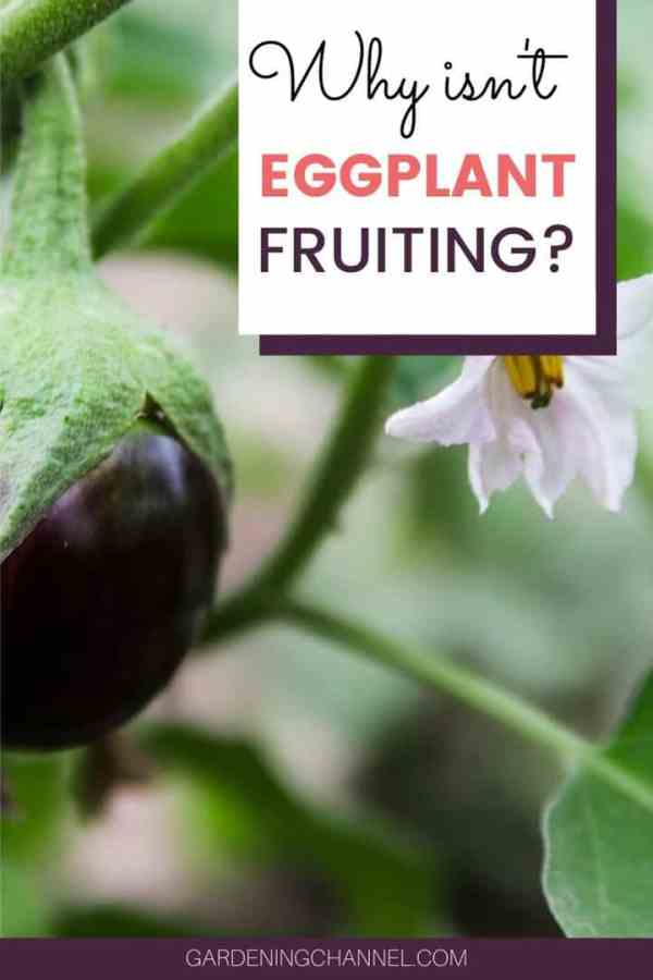 eggplant fruit and flower with text overlay why isn't eggplant fruiting