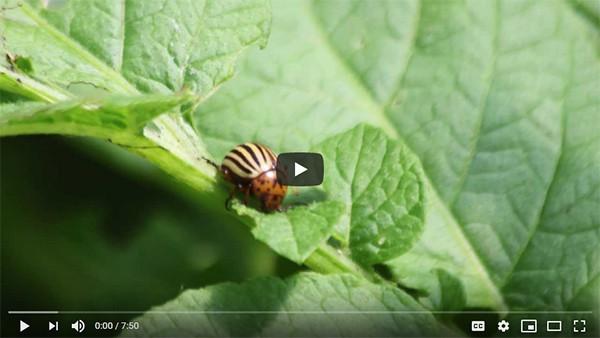 Colorado Potato Beetles