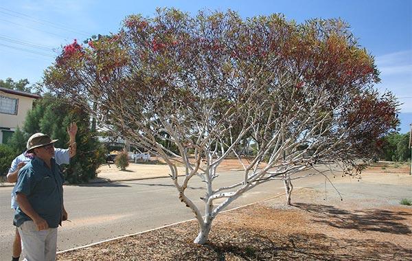 Eucalyptus erythronema tree