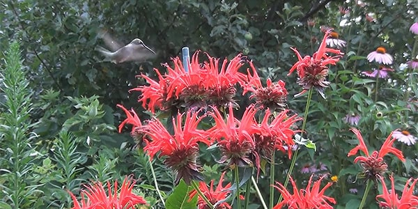 Bee Balm Jacob Cline and Hummingbird