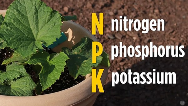 Nitrogen Phosphorus Potassium fertilizer for full flavor cukes