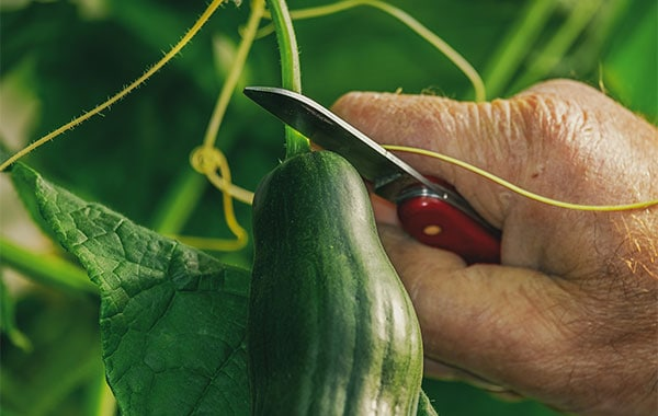Man's hand holding folding knife and harvesting cucumber at the base of the stem