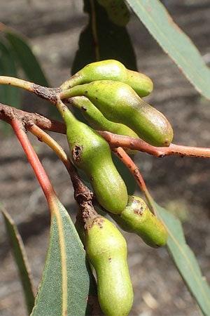 Eucalyptus Astringens Buds