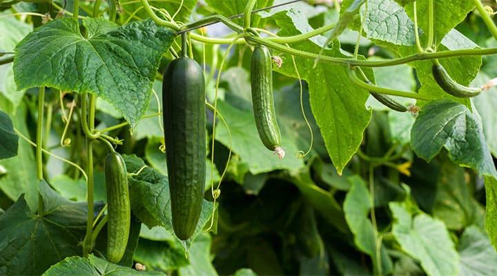 Ripe cucumbers hanging from vines