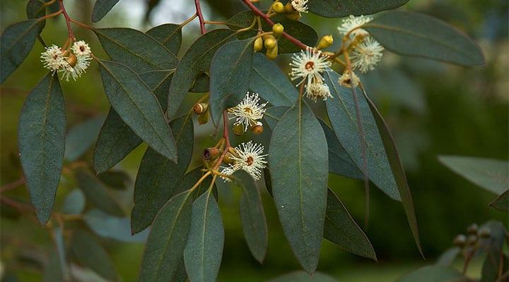 Growing Eucalyptus Tree