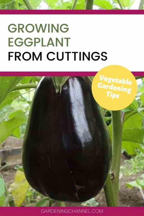 eggplant in garden with text overlay growing eggplant from cuttings