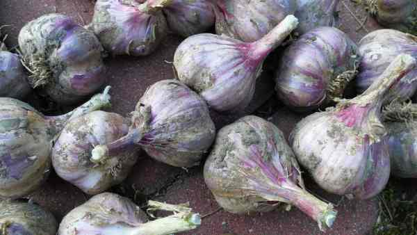 how to harvest garlic from containers