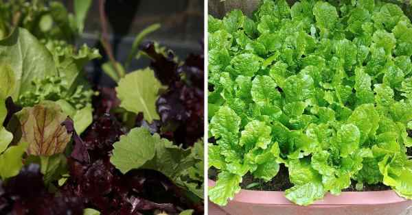 growing lettuce in pots