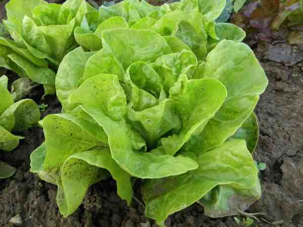 lettuce turning brown and soil splash