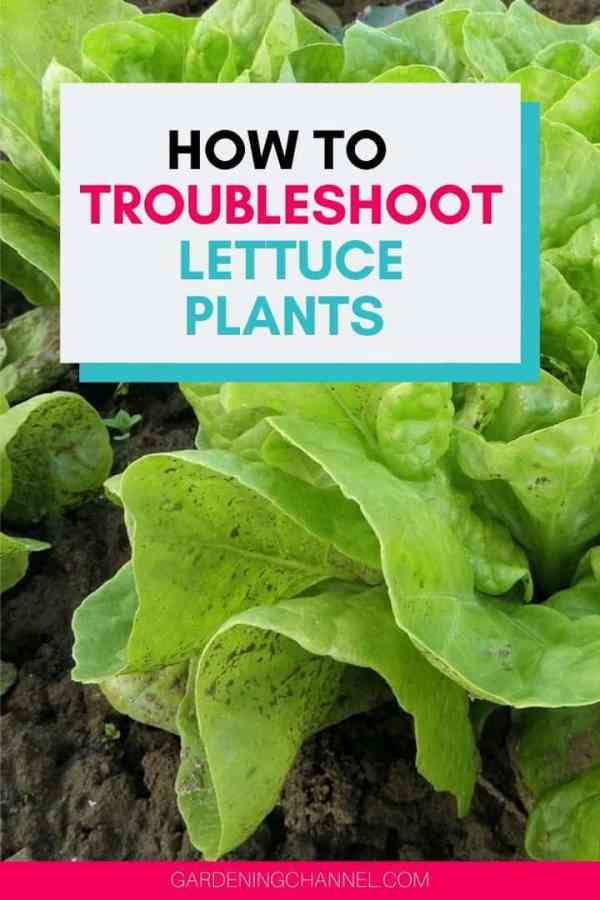 lettuce plant turning brown with text overlay how to troubleshoot lettuce plants