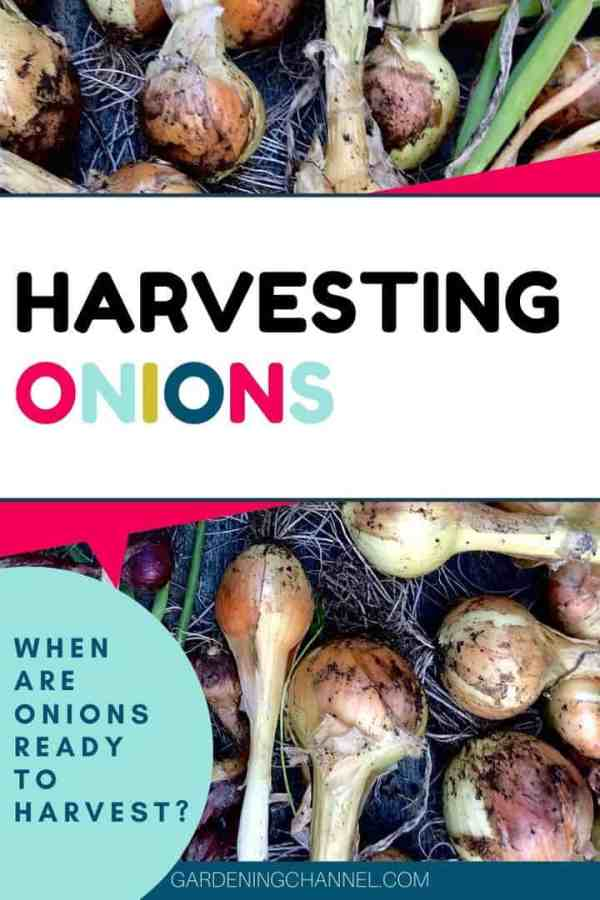 harvested onions with text overlay harvesting onions when are onions ready to harvest