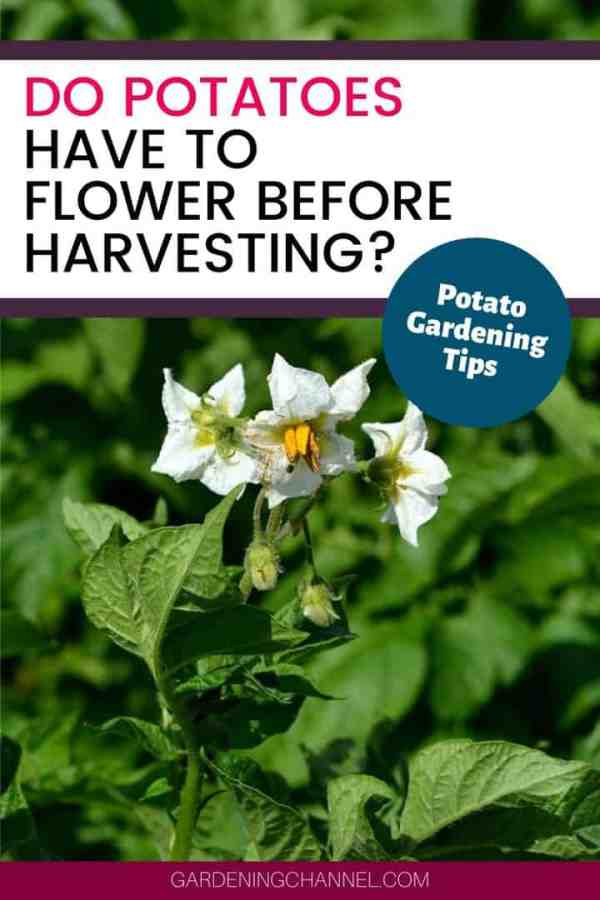 potato flowers with text overlay do potatoes have to flower before harvesting potato gardening tips
