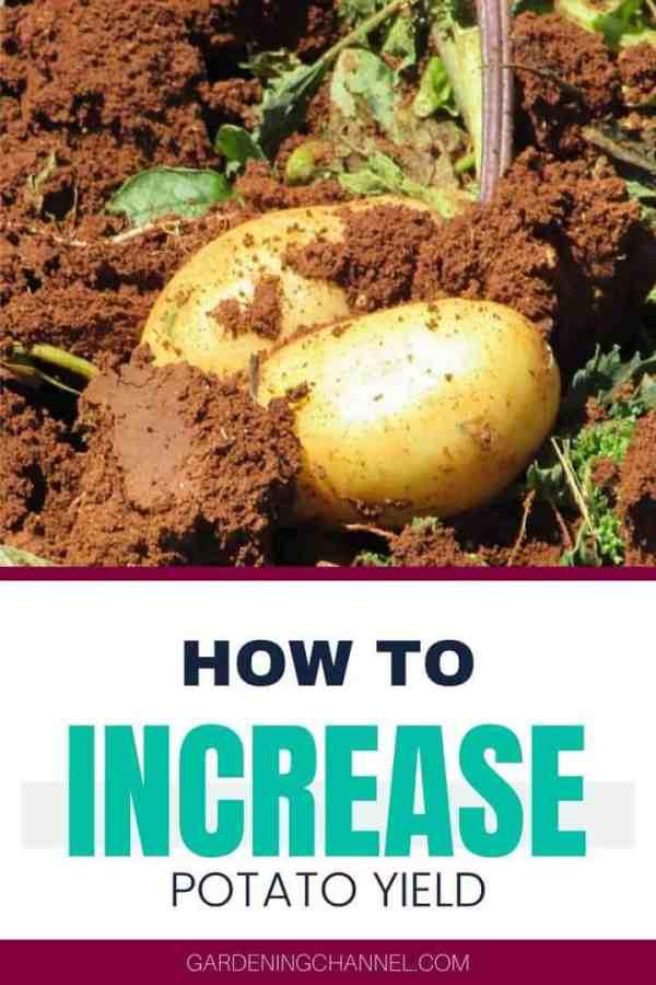 garden potato with text overlay how to increase potato yield