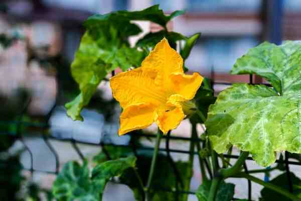 growing squash vines in pots