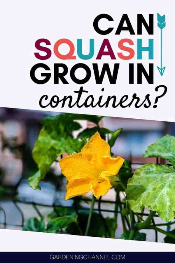 squash vine on trellis with text overlay can squash grow in containers