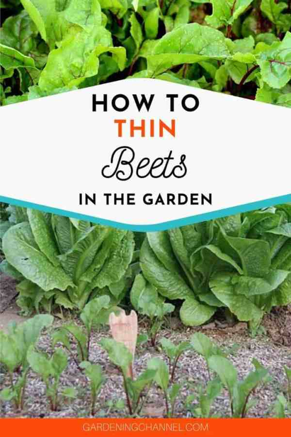 beet greens and beets in garden with text overlay how to thin beets in the garden