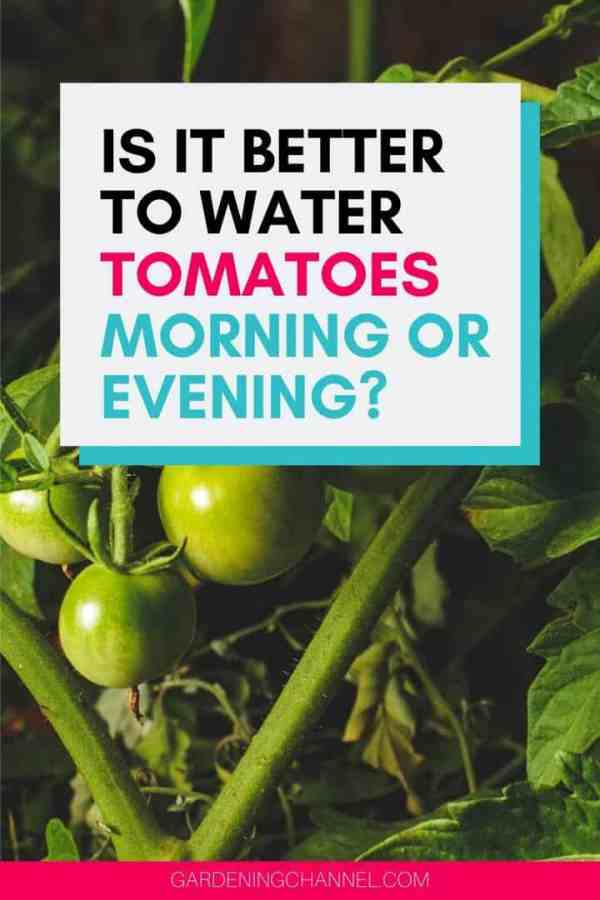 garden tomatoes with text overlay is it better to water tomatoes morning or evening