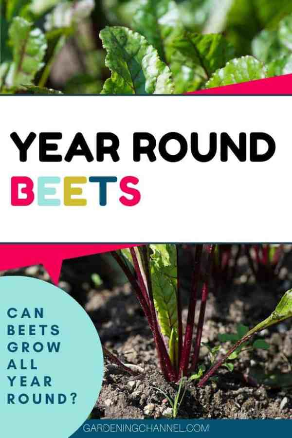 beet in garden with text overlay year round beets can beets grow all year round