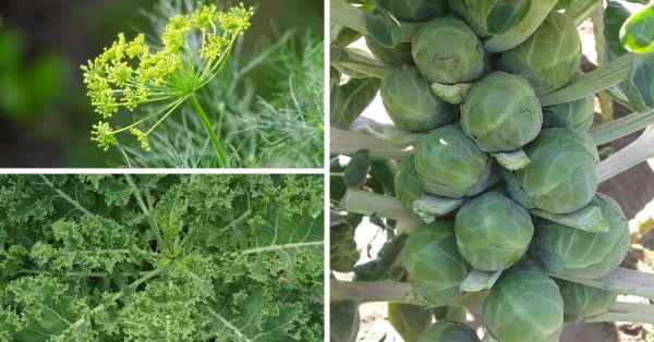 companion planting brussels sprouts