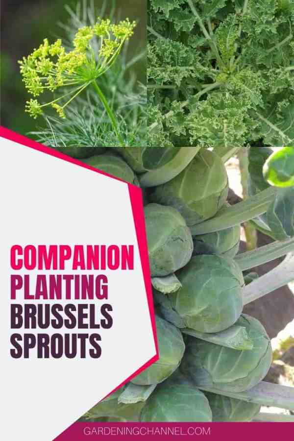 brussels sprouts dill kale with text overlay companion planting brussels sprouts