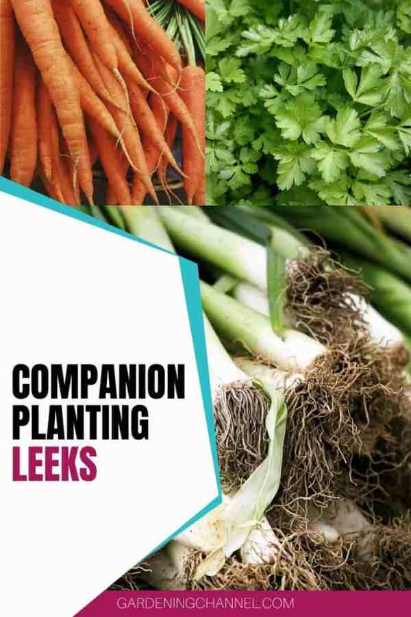 leeks carrots parsley with text overlay companion planting leeks