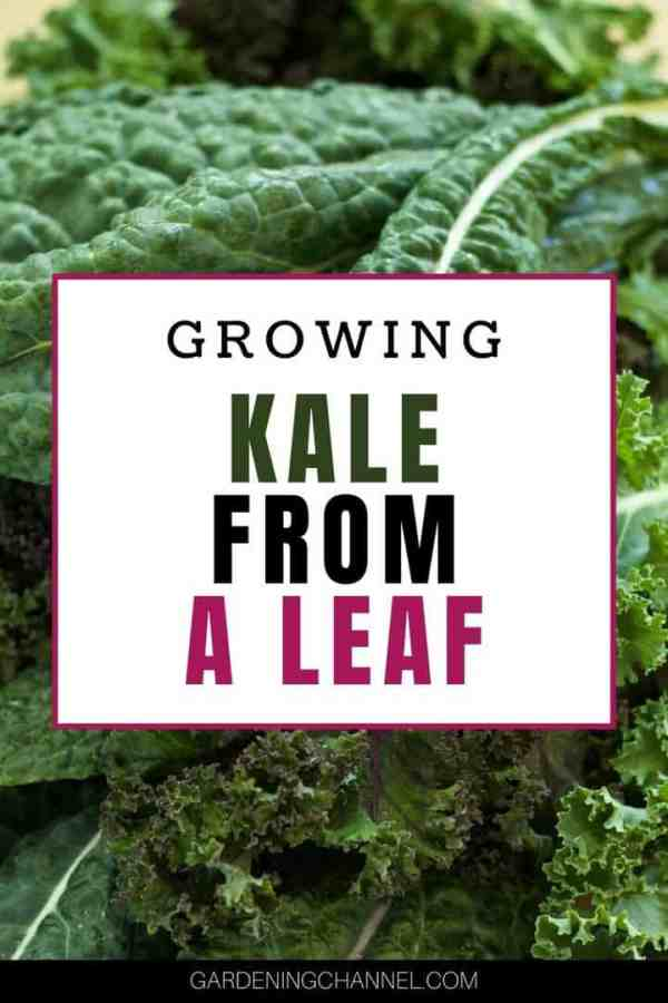 kale leaves with text overlay growing kale from a leaf