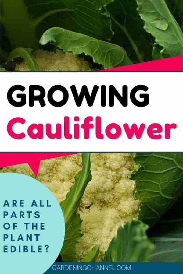 cauliflower plant with text overlay growing cauliflower are all parts of the plant edible