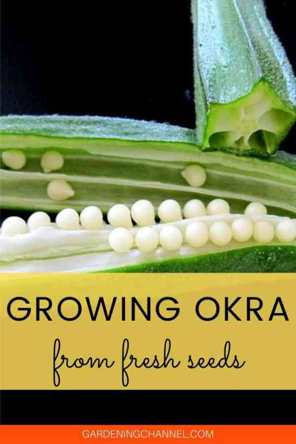 okra fresh seeds with text overlay growing okra from fresh seeds