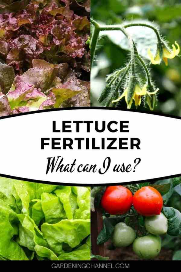 garden lettuce tomato blooms and fruit with text overlay lettuce fertilizer what can i use