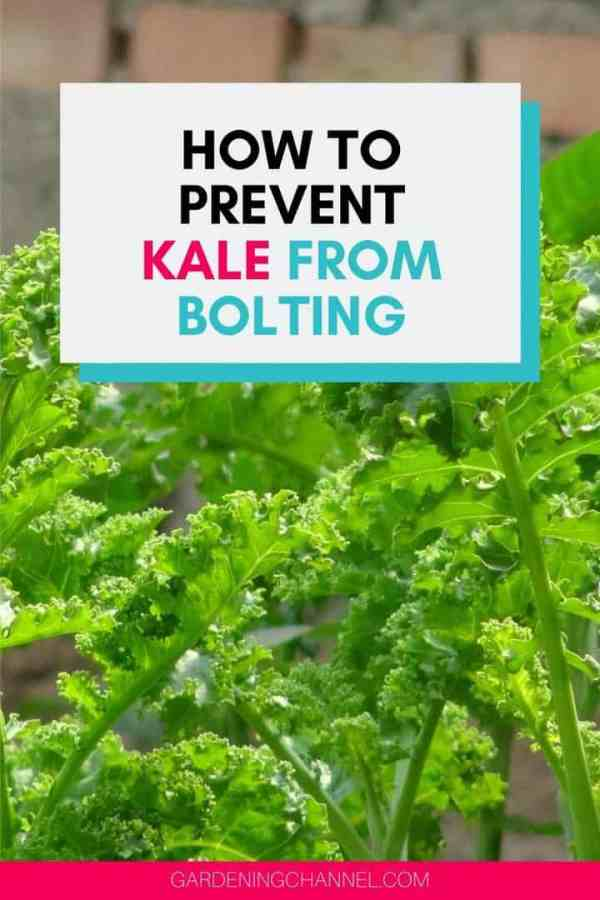 kale in gardening with text overlay how to prevent kale from bolting