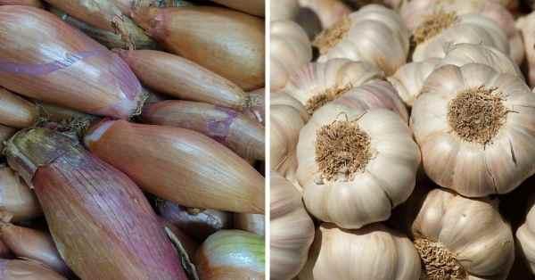planting shallots and garlic together
