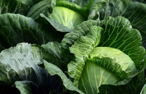 cabbage plants growing