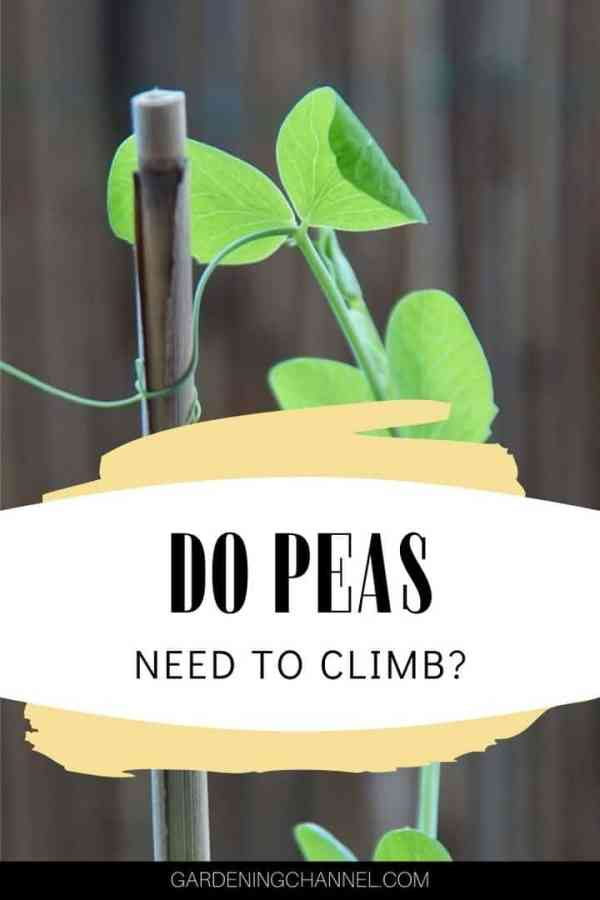 pea tendril climbing on trellis with text overlay do peas need to climb
