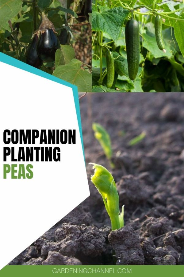 pea sprouting cucumbers eggplant with text overlay companion planting peas