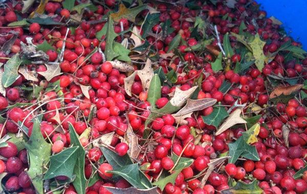 Agarita berry