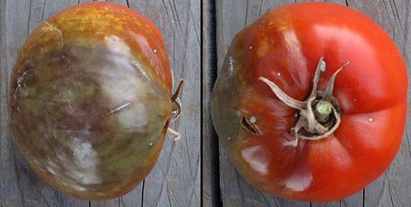Tomato with Phytophthora infestans