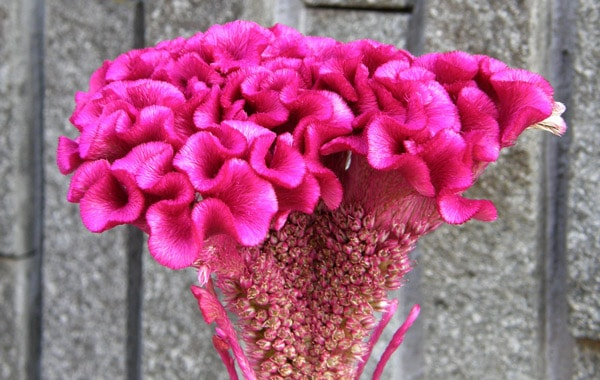 woolflower cockscomb