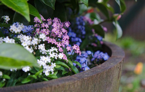 Three forget-me-not varieties in different colors.
